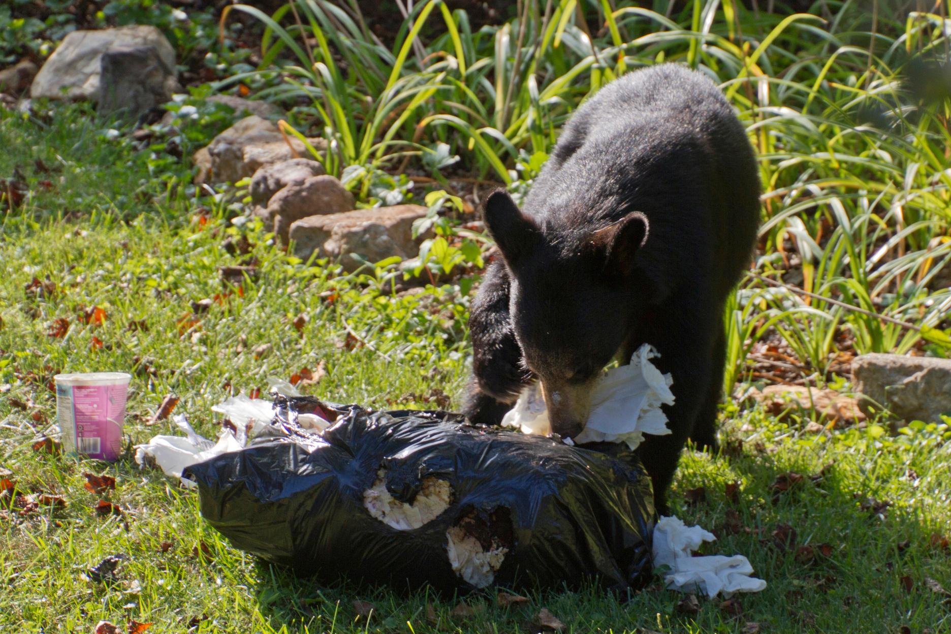 American Black Bear cub eating through a garbage bag