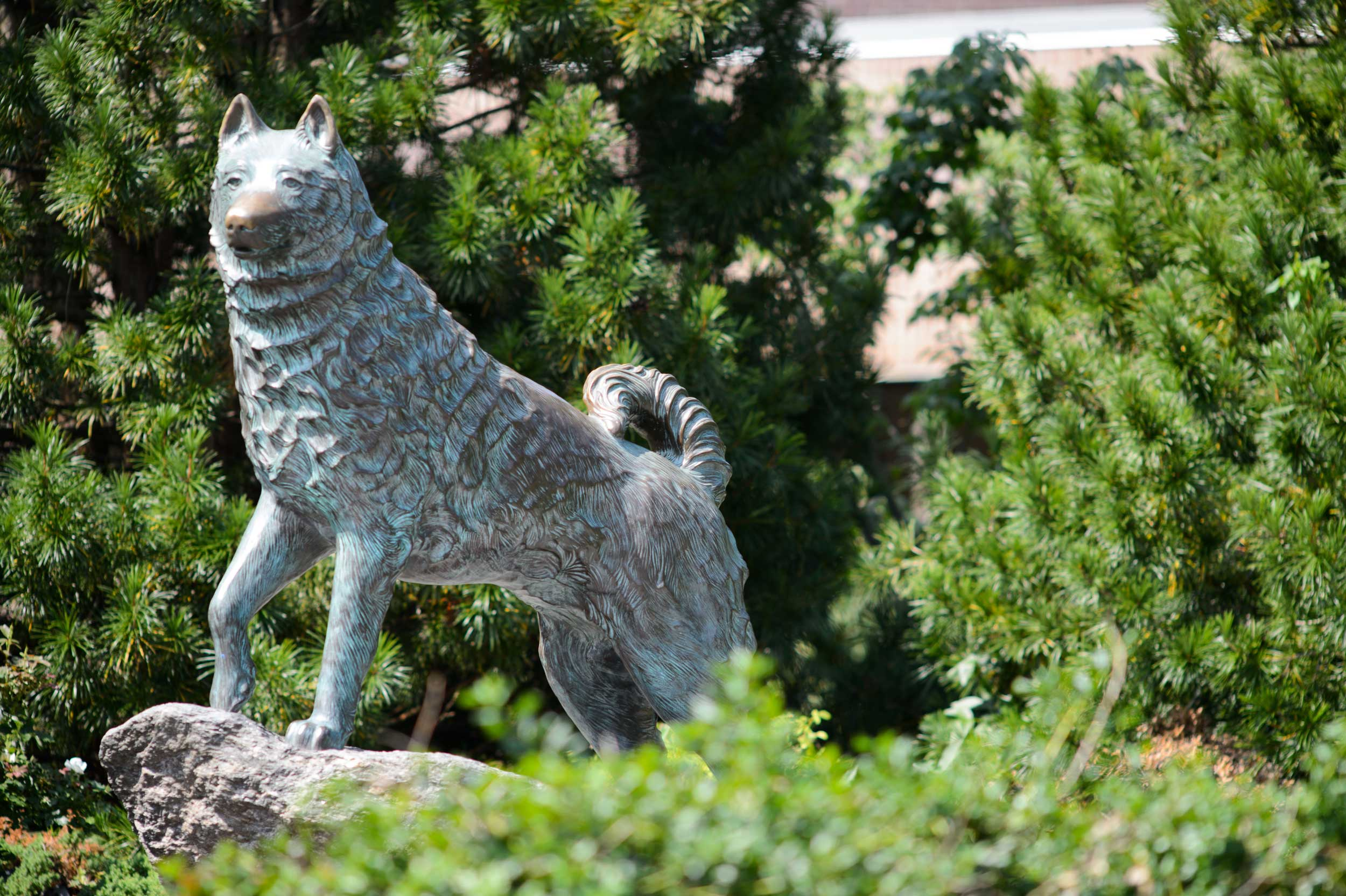 Jonathan the Husky statue in UConn, Storrs Campus
