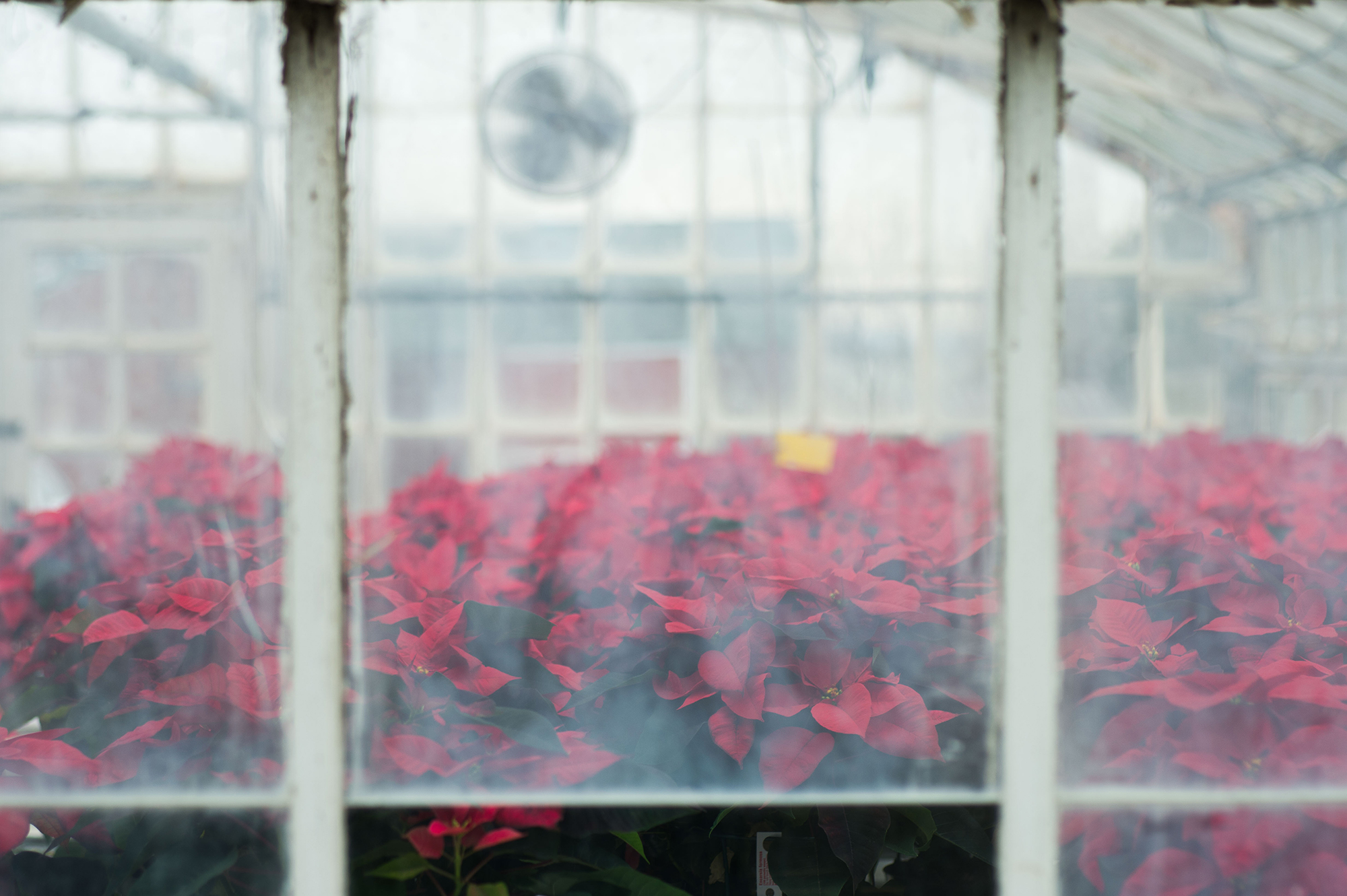 a cluster of poinsettias inside a greenhouse