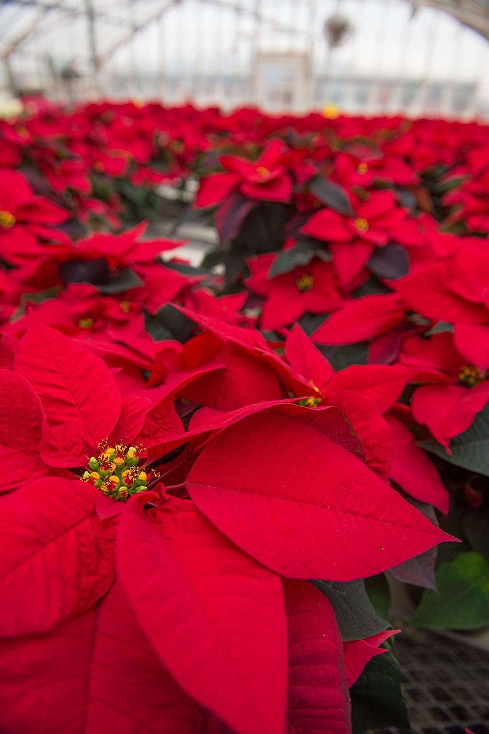 a cluster of poinsettias