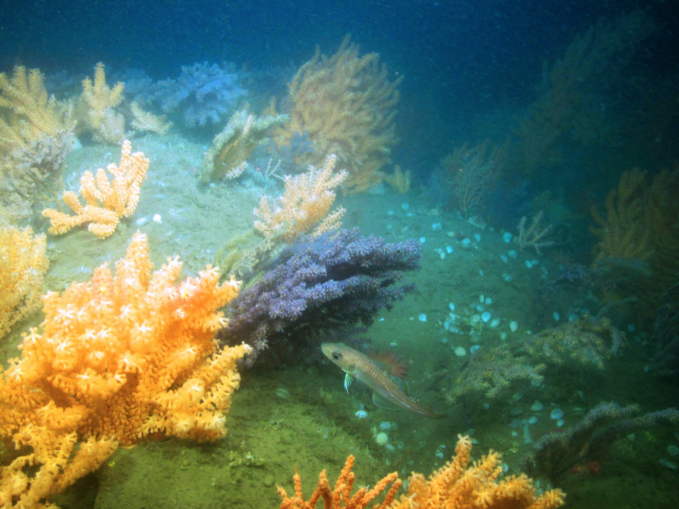 Coral garden habitat with a juvenile Atlantic cod swimming among the colonies, searching for shrimp. The corals provide both shelter from predators and a source of prey. (Photo courtesy of Peter Auster)