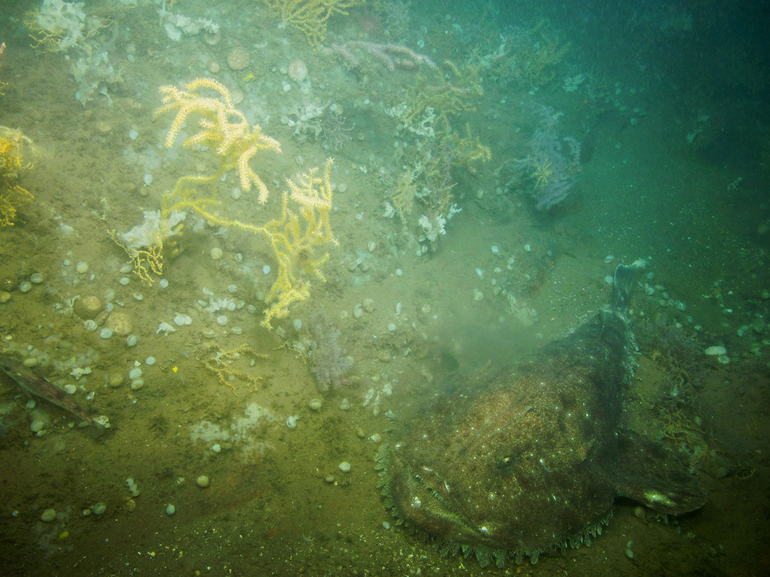 Corals and anemones were observed at Western Jordan Basin by the Kraken 2 ROV in 2014. Credit: Gulf of Maine Deep Coral Science Team 2014/NURTEC-UConn/NOAA Fisheries/UMaine.