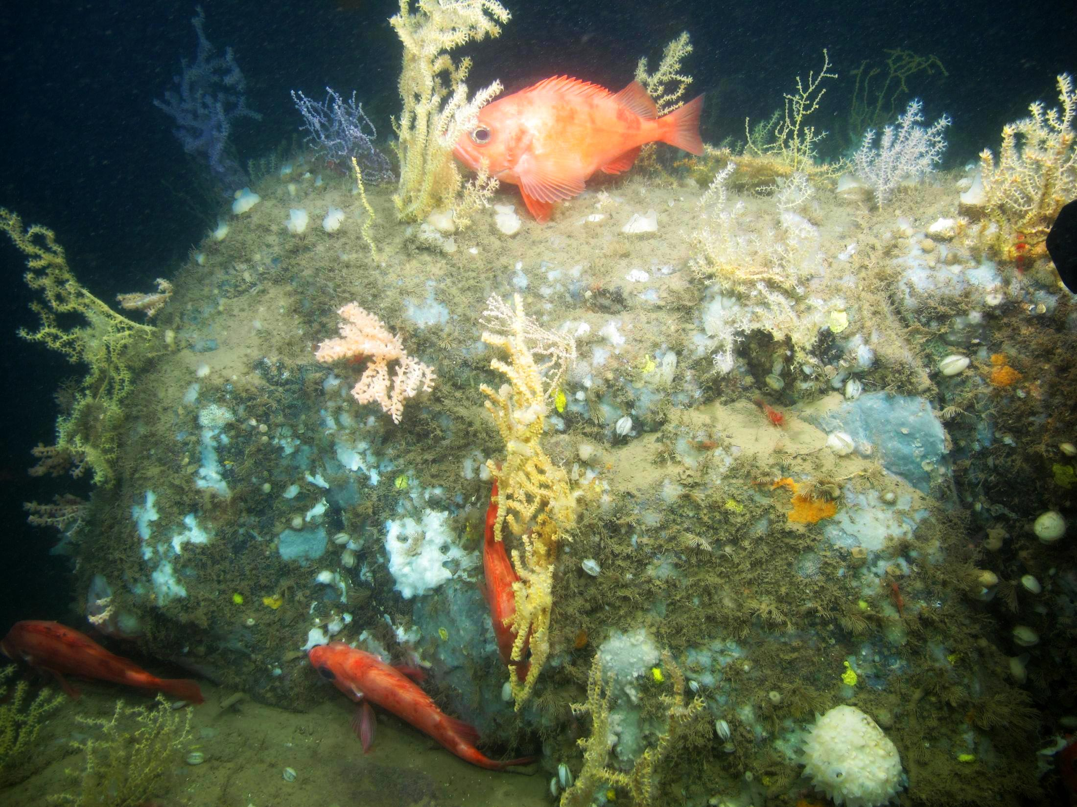 Acadian redfish among coral. (Photo courtesy of Peter Auster)