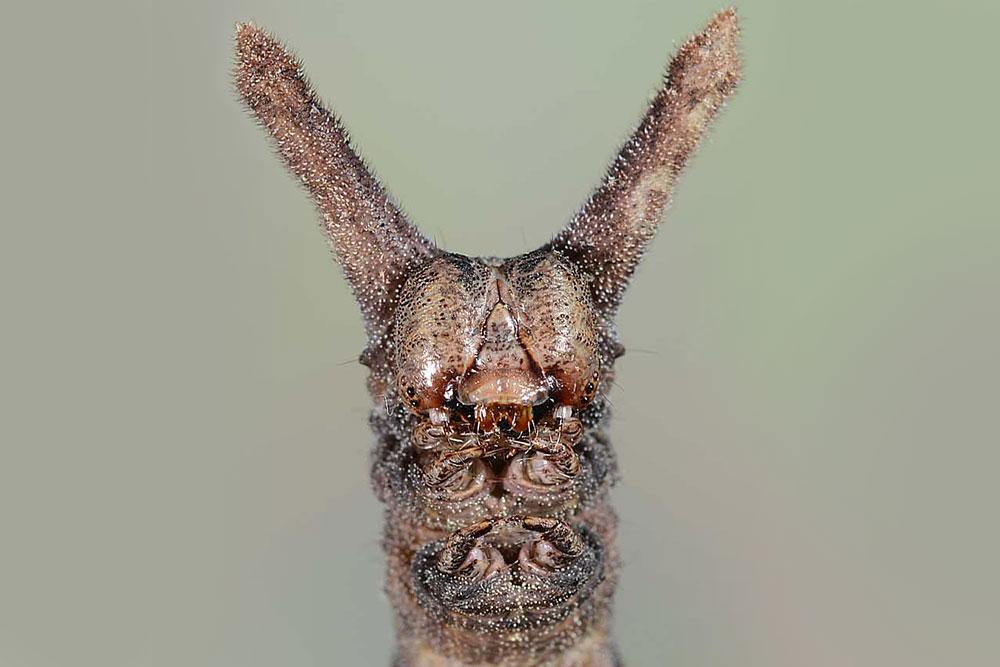 The head of a Ceratonyx permagnaria