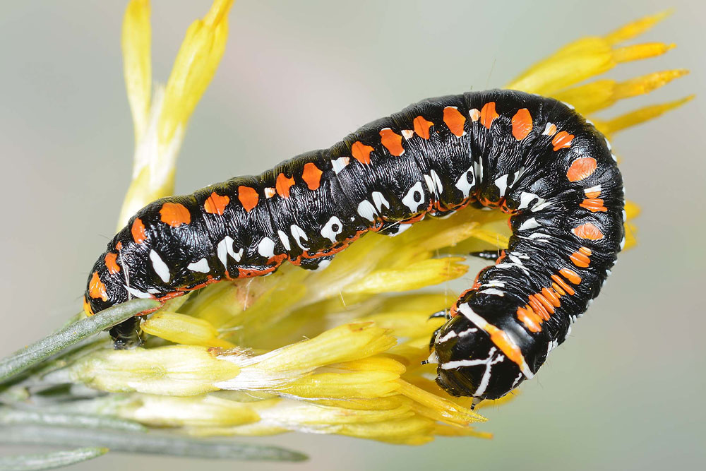 A black catepillar with orange and white spots, The Cucillia Dorsalis aka Harlequined Paint