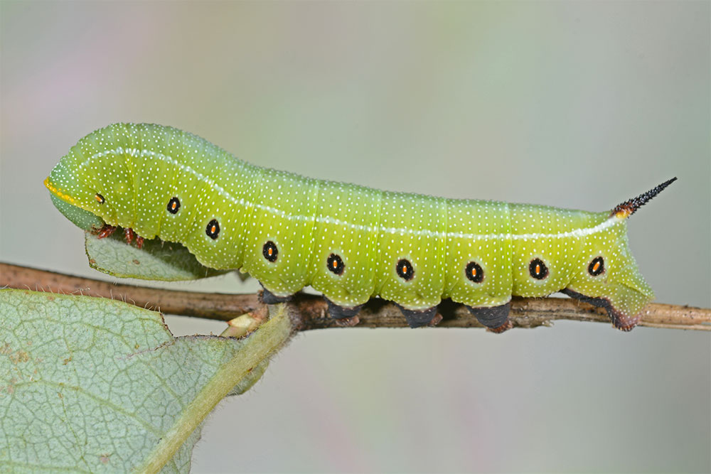 a green caterpillar with tiny white spots and black dots along it's side, The Hemaris thetis or California clearwing