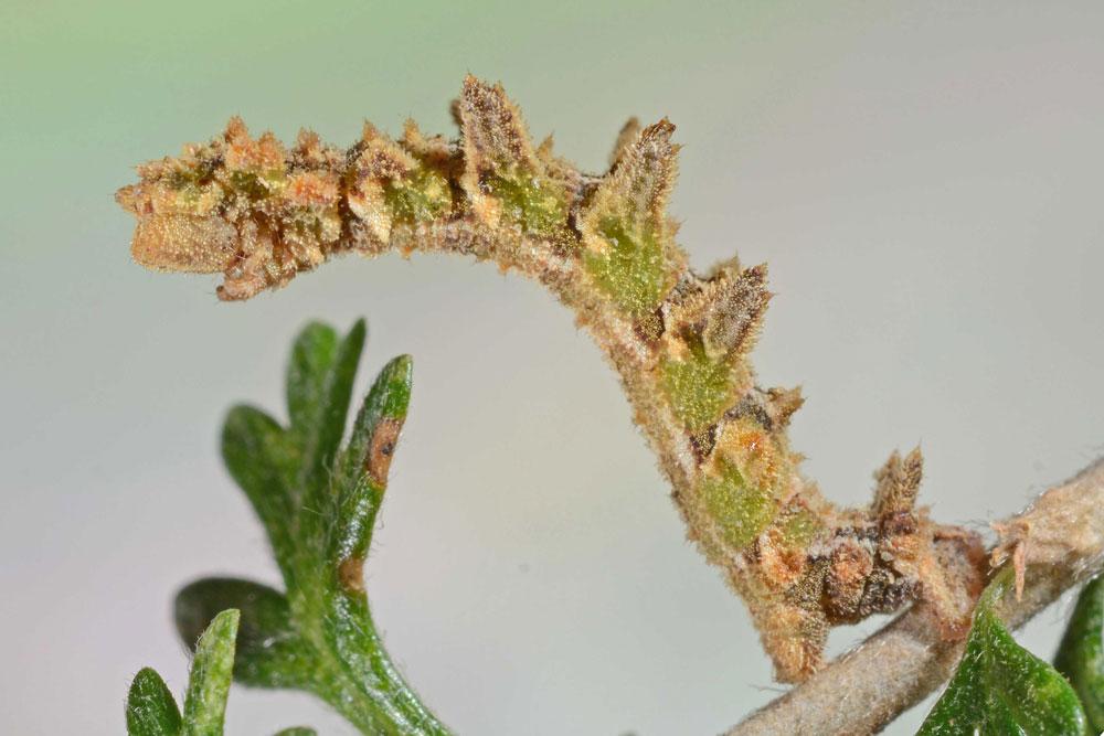 a catepillar that looks like a fuzzy leaf