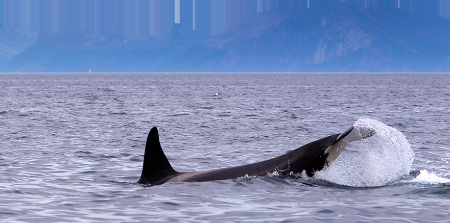 whale breaches at sea