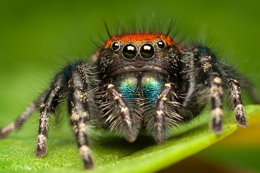 a close up of the jumping spider - showcasing 4 cute round eyes, a red head and blue-green gradient legs all covered in thin translucent hairs