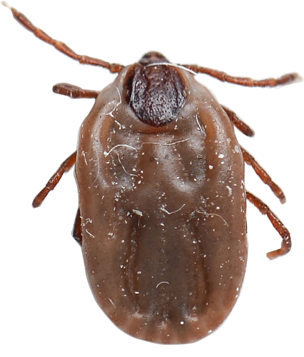 Bloated Deer Tick