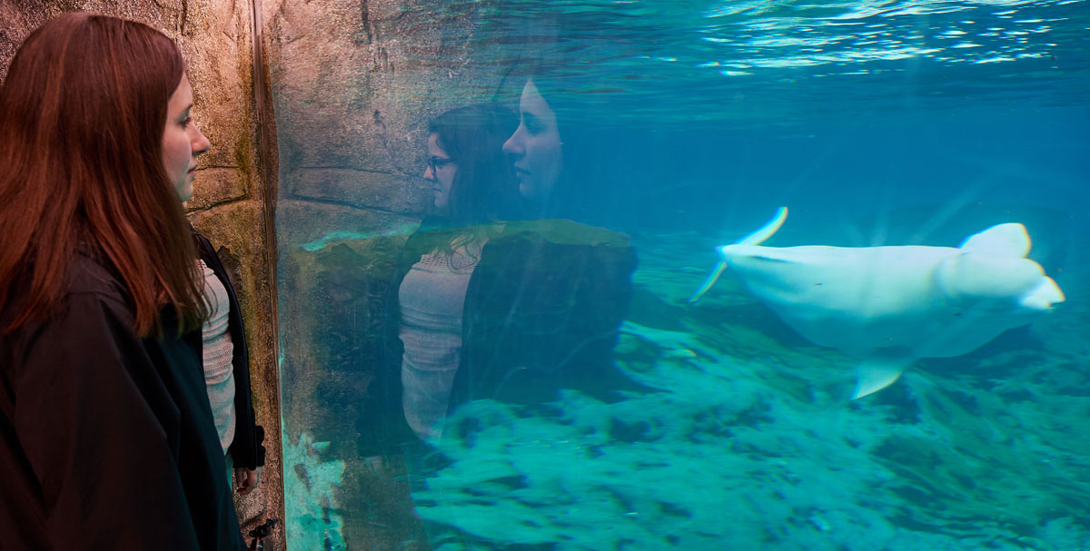 Avery Point campus students look at beluga whales at Mystic Aquarium
