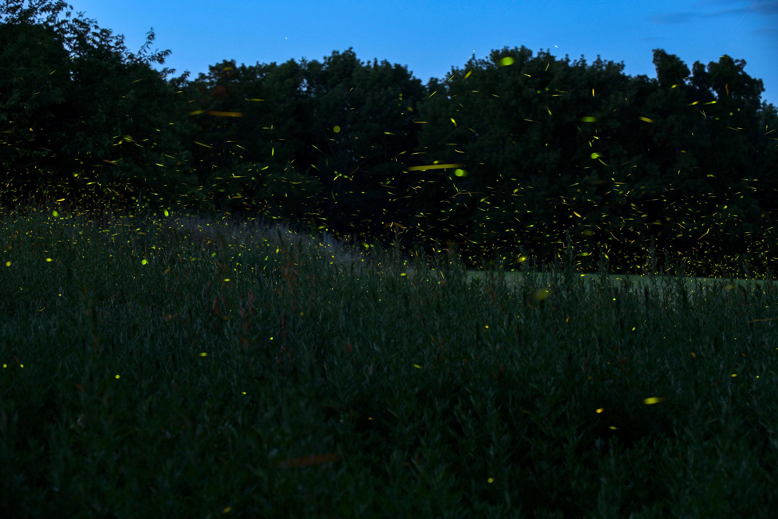 hundreds of fireflies in a field