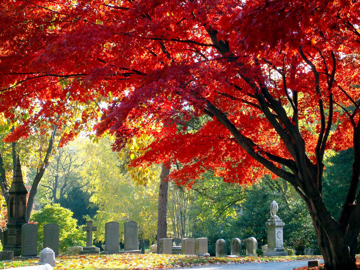 Mount Auburn in Autumn Red