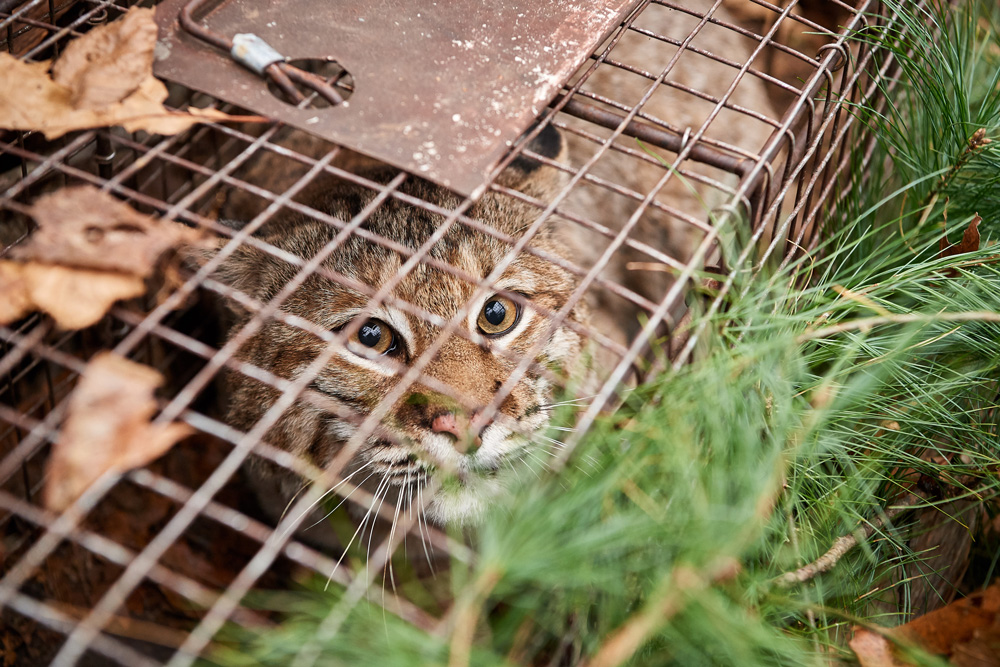 A caged bobcat in Connecticut