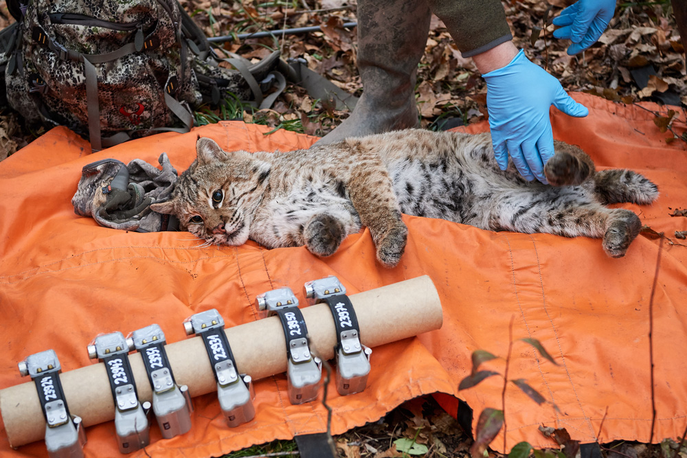 A Connecticut bobcat having blood and hair samples are taken from the tranquilized cats who are fit with magnetic GPS collars that fall off after 300 days.