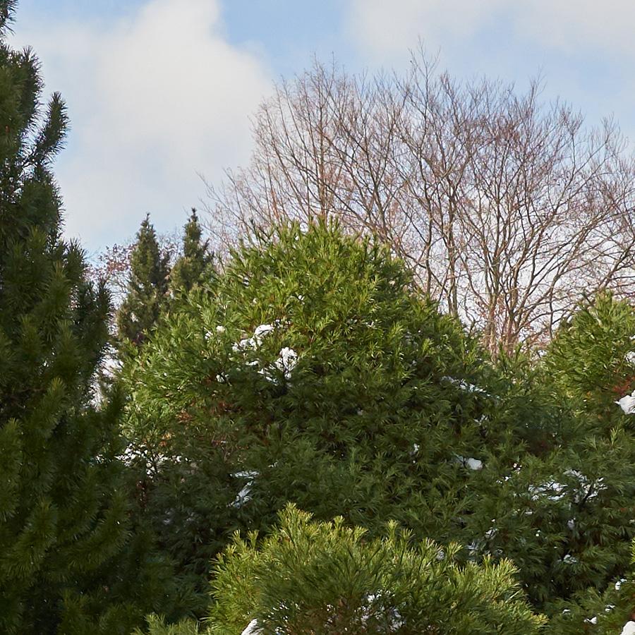 Dwarf Pinus strobus, eastern white pine