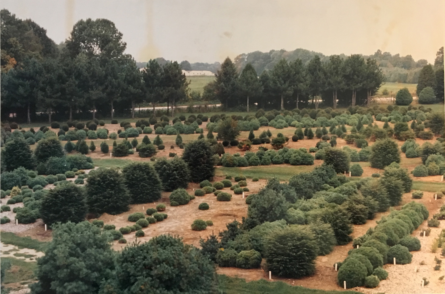 UConn's Conifer Collection hosts hundreds of trees, the fruits of Sidney Waxman's hunts
