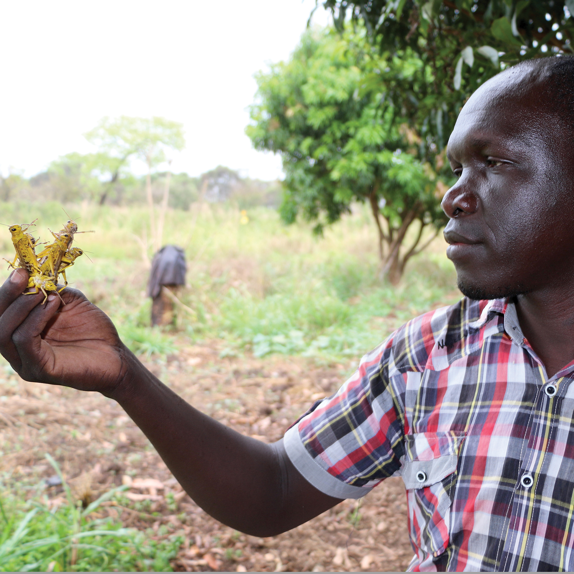 WFP staffer Taban Michael inspects some of the desert locusts in South Sudan. WFP provided vehicles to help response teams conduct surveillance and control.