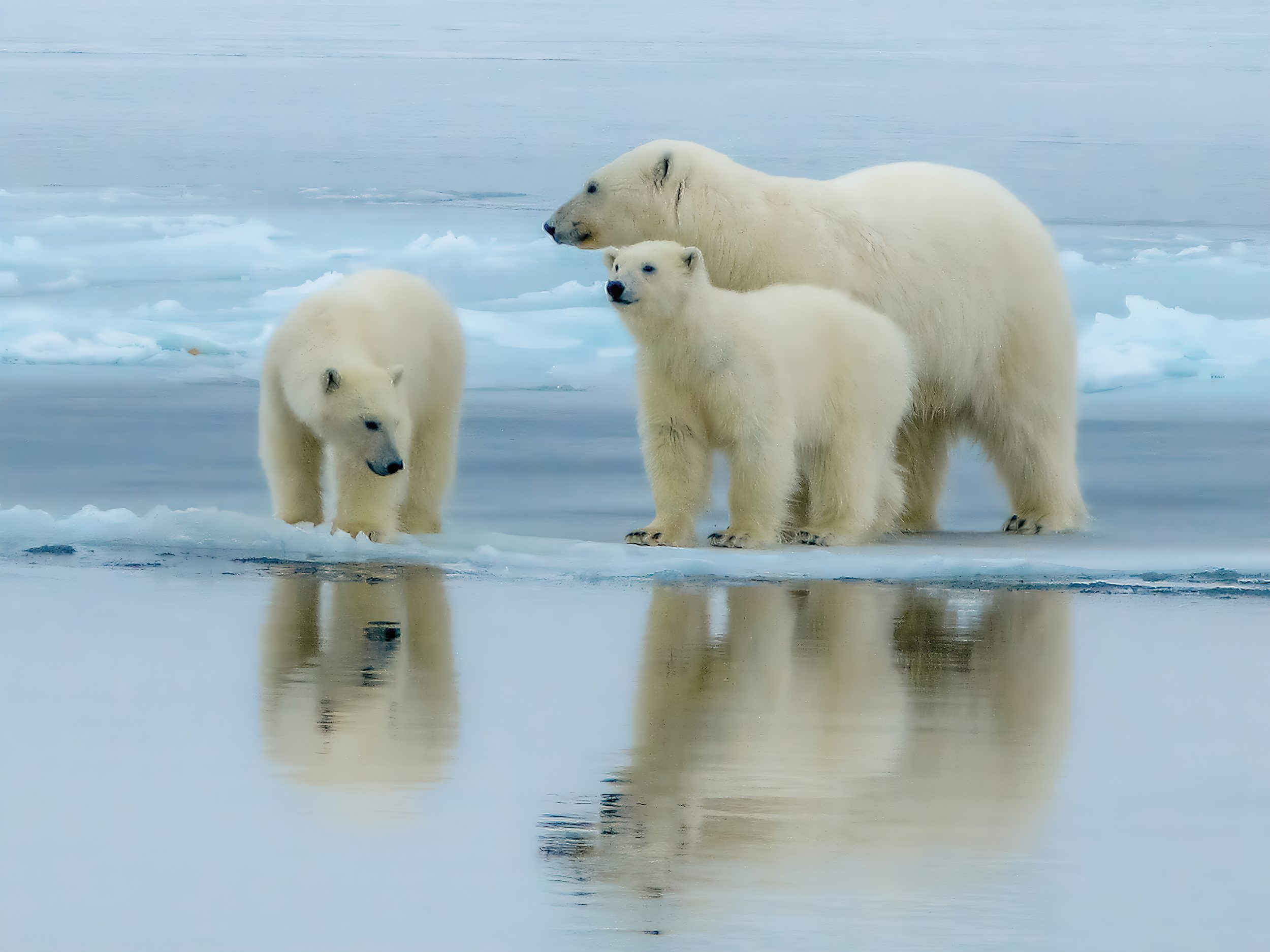 A polar bear and her two cubs walking along a partially frozen fjord in Scoresby Sund, East Greenland.