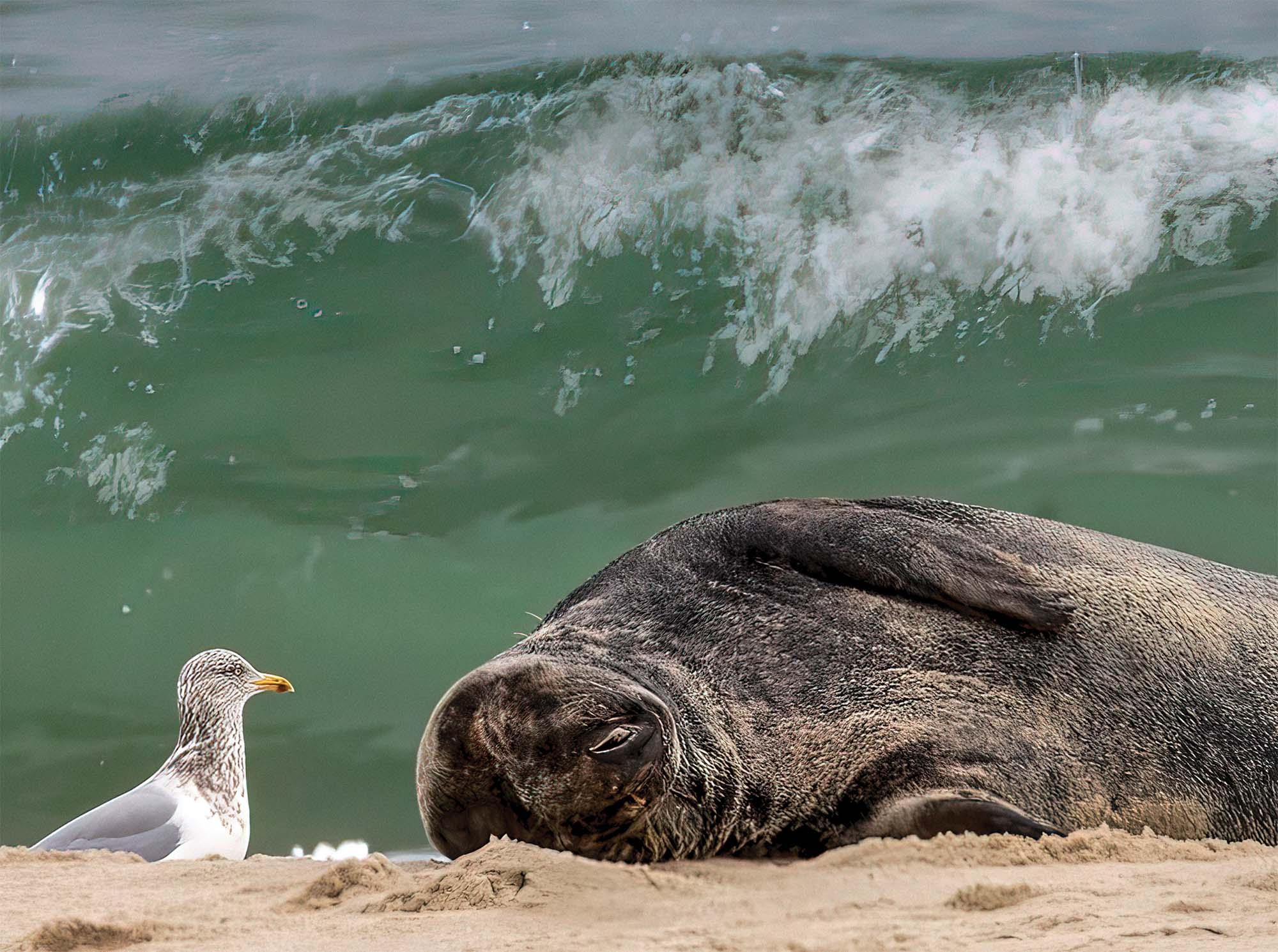 Levin's research on marine species has taken him to the remotest spots on the planet, but also to places like Monomoy National Wildlife Refuge on Cape Cod, where this grey seal was having a siesta.