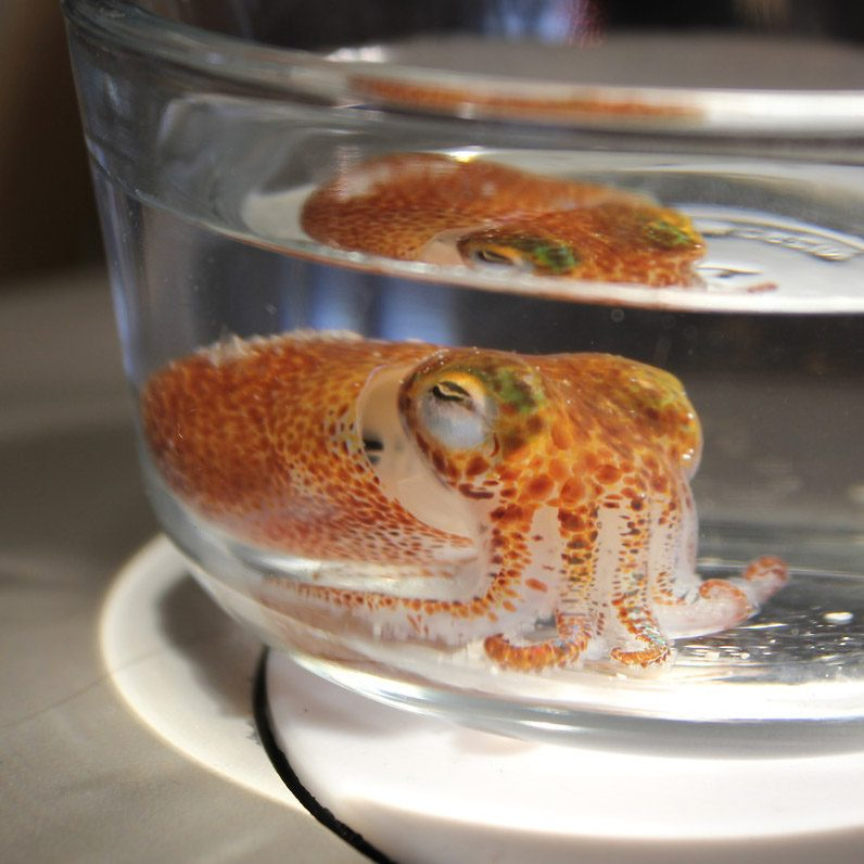 a young bobtail squid in a bowl